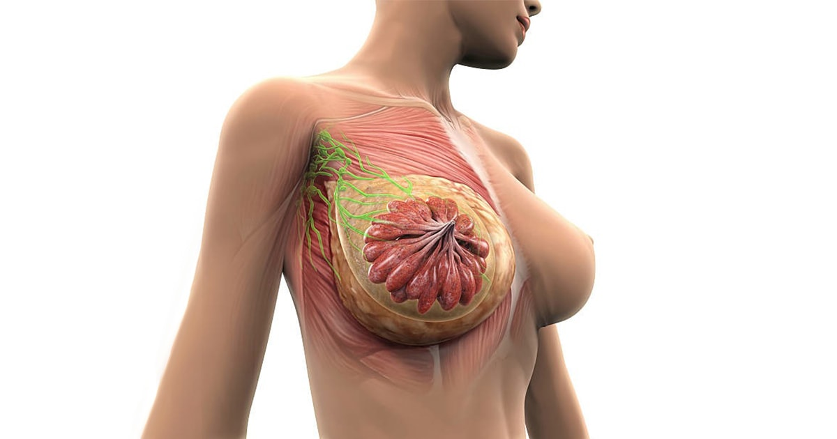 Θηλυκοί μαστοί - Ανατομία Στήθους